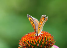 Orange butterfly on flower Stock Photos