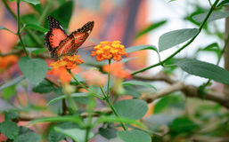 Orange butterfly. On a flower royalty free stock photos