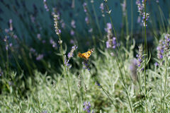Orange butterfly on the flower. The butterfly that has landed on a flower. Photographed outside in the city park in Szeged, Hungary Royalty Free Stock Images