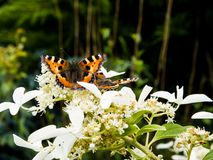 Orange butterfly on flower royalty free stock photo