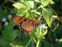 Orange butterfly on flower. Orange butterfly on a flower. Natural light royalty free stock image