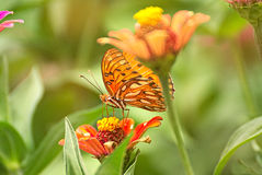 Orange butterfly on a flower Stock Photos