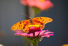 Orange butterfly on a flower. Orange butterfly on a pink flower Royalty Free Stock Photography