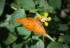 Orange Butterfly on a Flower. An orange butterfly sits on a yellow flower stock photo