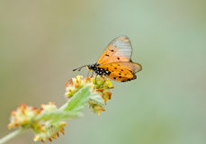 Orange butterfly on flower Royalty Free Stock Photos