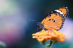 Monarch butterfly on flower. A monarch butterfly with orange wings with black and white dots on an orange flower stock photos