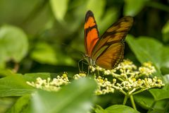Orange butterfly on flowers Royalty Free Stock Photo