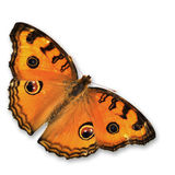Orange Butterfly. Flying Isolated on white background royalty free stock images