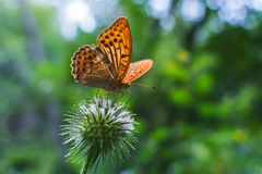 Orange butterfly in the forest on a plant. Orange butterfly sitting on a plant stock images