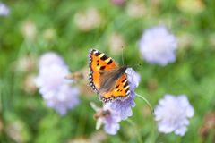 Orange Butterfly Gathering Pollen of Purple Flowers in Green Fie. Ld royalty free stock photography