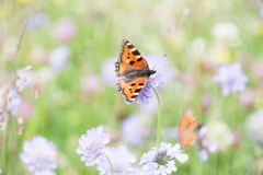 Orange Butterfly Gathering Pollen of Purple Flowers in Green Fie. Ld royalty free stock photos