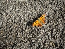 Orange Butterfly on Gravel. Orange spotted butterfly lighted on a gravel background in Shenandoah National Park, Virginia stock image