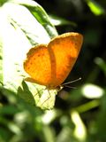 Orange butterfly with green background. Very light orange butterfly with green background, it was eleven o`clock in the morning butterflies time, named it Tegosa Royalty Free Stock Images