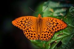 Orange butterfly on green leaf stock photo