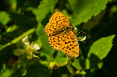 Orange butterfly on a green leaf at forest Royalty Free Stock Photography
