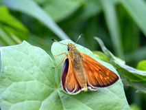 Orange butterfly Royalty Free Stock Images