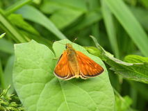 Orange butterfly. On green leaf, Lithuania royalty free stock photo