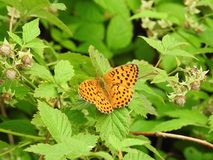 Orange butterfly on green leaf , Lithuania. Beautiful orange butterfly on on green leaf in meadow in summer stock image