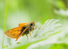Orange butterfly on green leaf macro Royalty Free Stock Photo