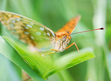 Orange butterfly on green leaf macro Royalty Free Stock Photos