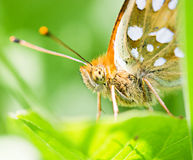 Orange butterfly on green leaf macro Royalty Free Stock Image
