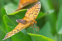 Orange butterfly on green leaf macro Royalty Free Stock Photography
