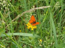 Orange butterfly in green spring meadow. Copper butterfly. With orange wings. Nature and spring stock photo