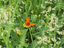 Orange butterfly in green spring meadow. Copper butterfly. With orange wings. Nature and spring stock image