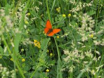 Orange butterfly in green spring meadow. Copper butterfly. With orange wings. Nature and spring stock photography