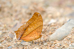 The Orange Butterfly on the ground. The Orange Butterfly on the ground in the morning Royalty Free Stock Photos