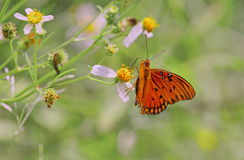 Orange Butterfly. Gulf Fritillary - drinks nectar from a wildflower stock image