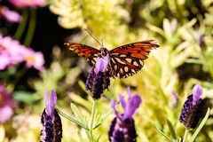 Orange Gulf Fritillary butterfly on purple flowers. Orange butterfly Gulf Fritillary on purple blossoms, in Arizona`s Sonoran desert royalty free stock images