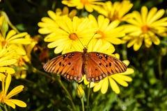 Orange butterfly Gulf Fritillary on yellow flowers, in Arizona`s Sonoran desert. Orange Gulf Fritillary Agraulis vanillae perched on yellow flowers, in Arizona` stock image