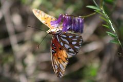 Butterfly on violet petals. Orange butterfly hanging onto a row of violet petals branching out from a green stem royalty free stock image