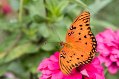 Orange Butterfly royalty free stock photography