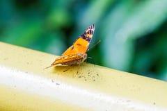 Orange butterfly iguazu Royalty Free Stock Images