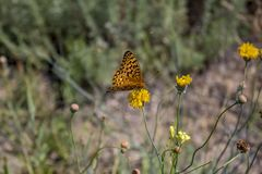 Orange Butterfly. An orange butterfly landed on a yellow flower royalty free stock images