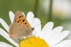 Orange butterfly on a large daisy in Southampton Old Cemetery. An orange butterfly on a large daisy  in Southampton Old Cemetery stock photo