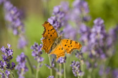 Orange butterfly and lavender Stock Images
