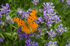 Orange butterfly on lavender flower Stock Images