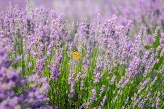 Orange butterfly on lavender flower Royalty Free Stock Photo