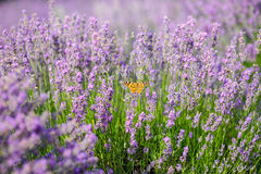 Orange butterfly on lavender flower Royalty Free Stock Images