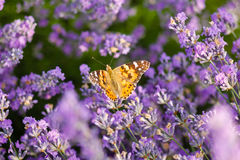 Orange butterfly on lavender flower Royalty Free Stock Image