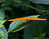 Orange butterfly. On a leaf royalty free stock images