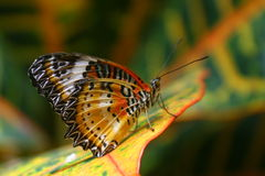 Orange Butterfly on Leaf. A single orange butterfly perches on a matching colored leaf Stock Images