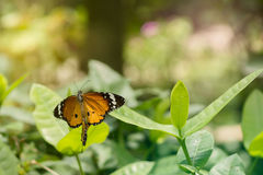 Orange butterfly on leaf. Orange butterfly Danaus chrysippus on leaf royalty free stock photo