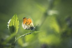 Orange butterfly on a leaf. Orange butterfly feeding on a leaf green background royalty free stock photography