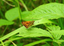 Orange butterfly on leaf. Orange butterfly on green leaf in meadow, Lithuania royalty free stock photos