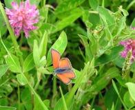 Orange butterfly on leaf. Orange butterfly on green leaf in meadow, Lithuania stock photography