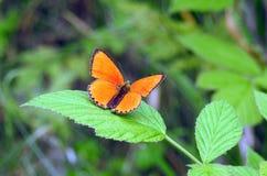Orange butterfly on leaf. Orange butterfly on green leaf in meadow, Lithuania stock image